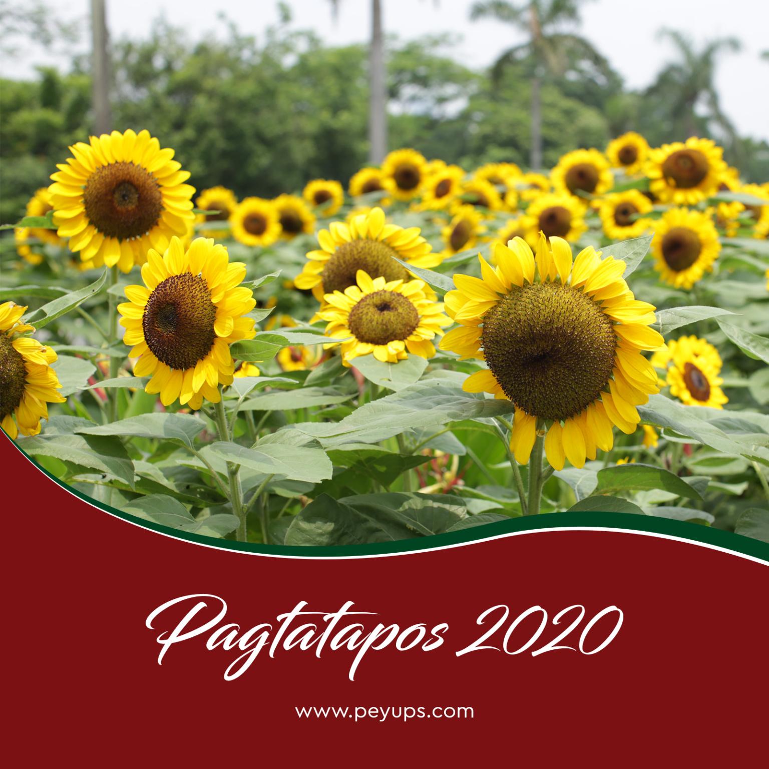 sunflower-peyups
